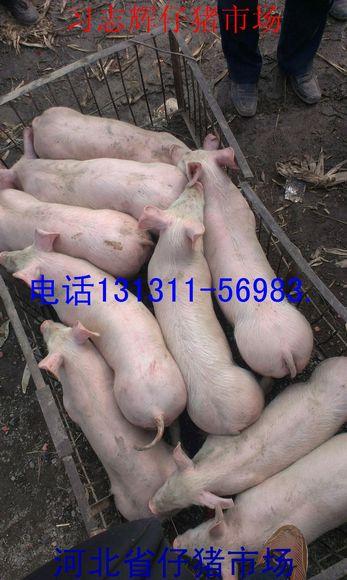 河北苗猪价格小猪市场