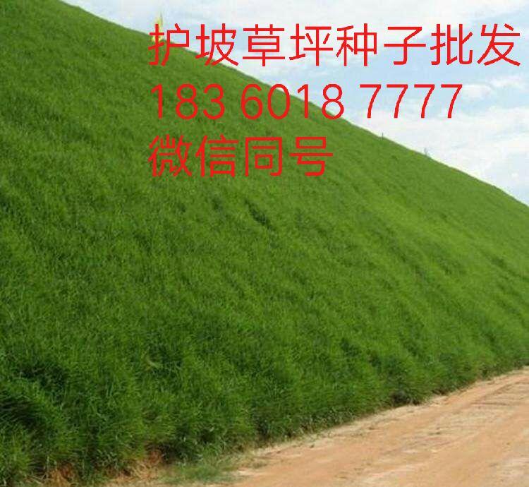 铁岭台湾草种子花海打造商秋播开始