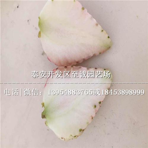 杭州��玉草莓苗基地
