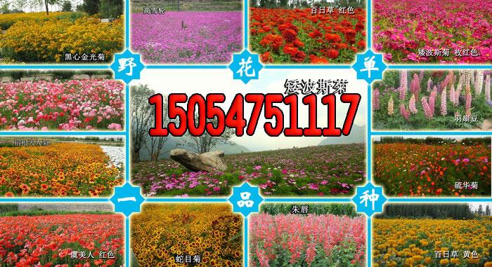 万寿菊的种植方法
