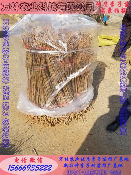 蜂糖李子苗苗哪里有、蜂糖李子苗成活率90以上