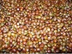供应娜塔栎1年生小苗、北美橡树小树苗、北美红栎小苗价格、北美娜塔红栎基地