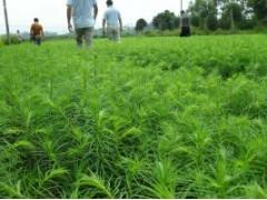 供应杜英1公分小树苗、杜英40-150公分高绿化苗、杜英1-5公分高批发树种