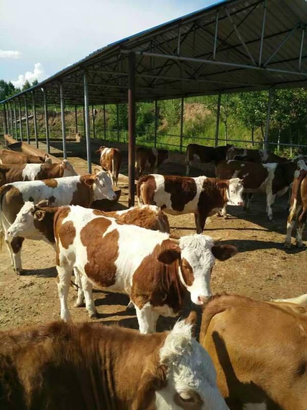肉牛饲料配制及配方牛喂什么饲料长得快瘦牛育肥