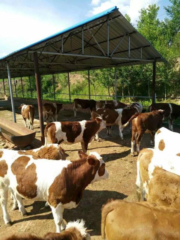 水牛�料�A混料繁殖母牛�A混料肉牛�B殖技�g