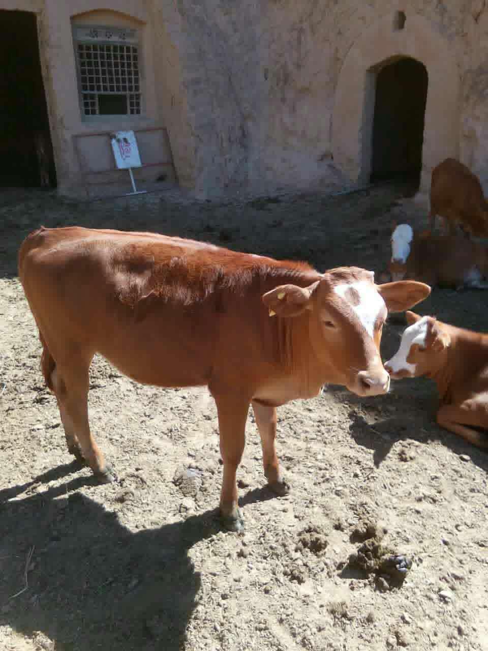 牛饲料肉牛养殖技术如何调配牛饲料