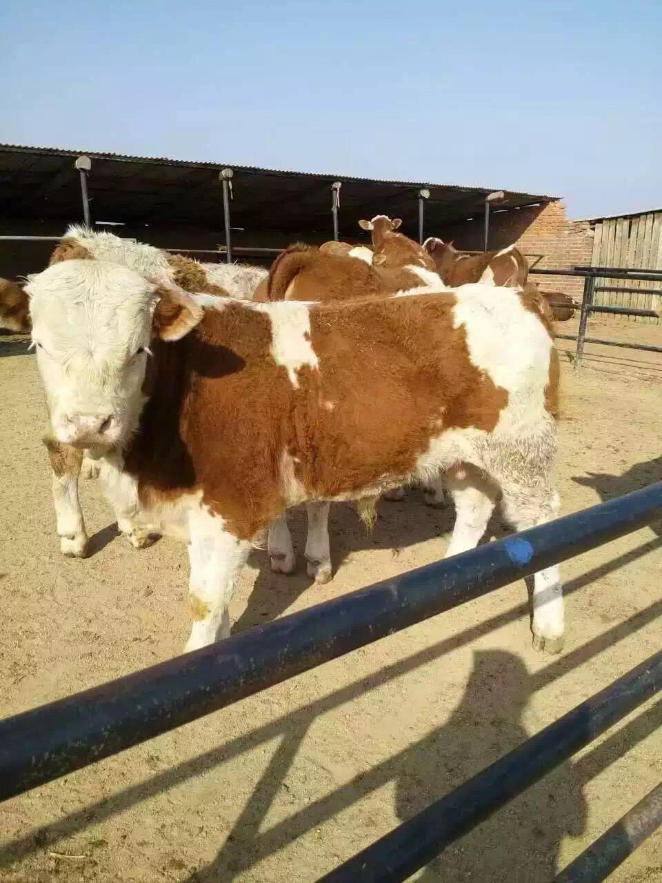 牛吃什么长得快养牛青储饲料制作方法牛蹄病
