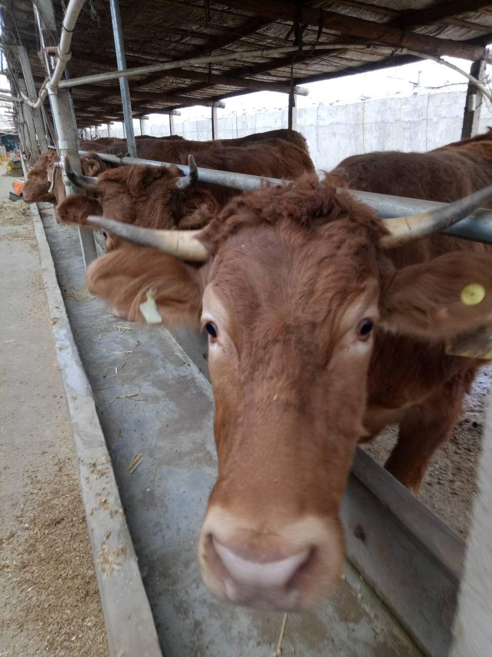 牛羊催肥料牛增重�┡o�料配方