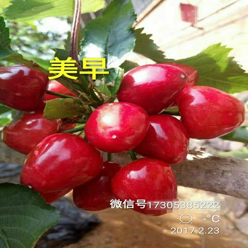 便宜出售平顶山甜樱桃树苗密植栽植技术