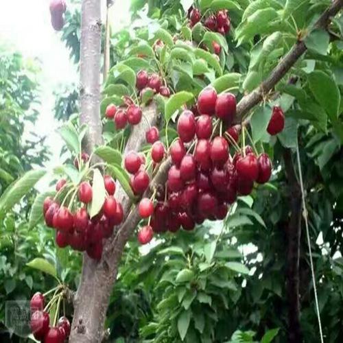 好消息广安八仙红樱桃树苗价格实时更新