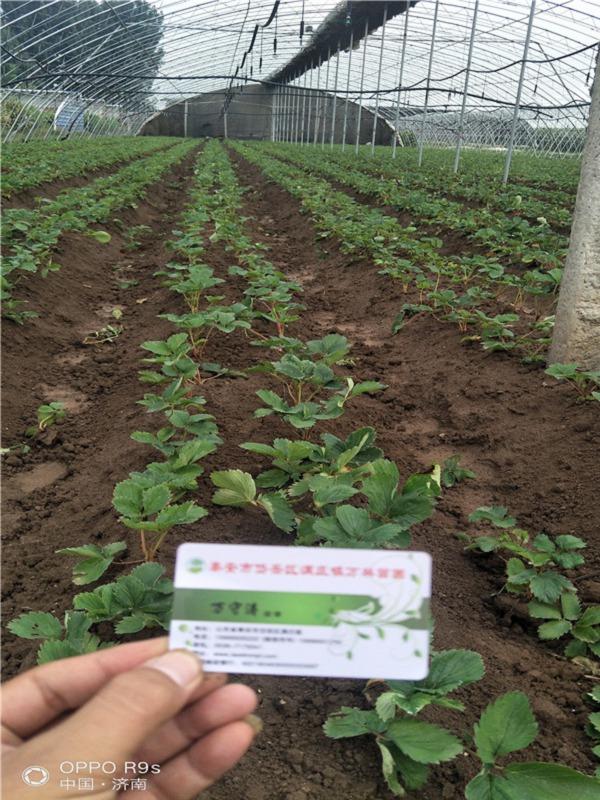 丰香草莓苗山东威海价格那里便宜