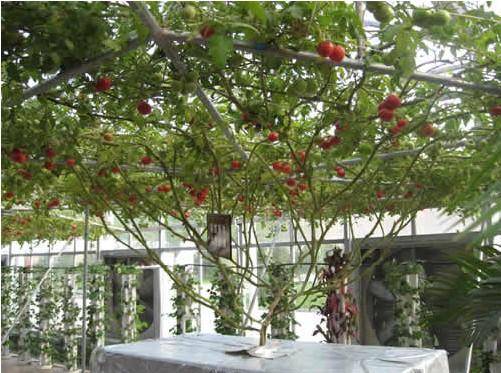 西红柿树矢量