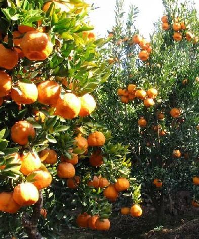 柑橘主要病虫害