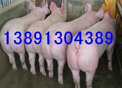 生猪养殖基地、土杂猪价格、长白猪行情产地