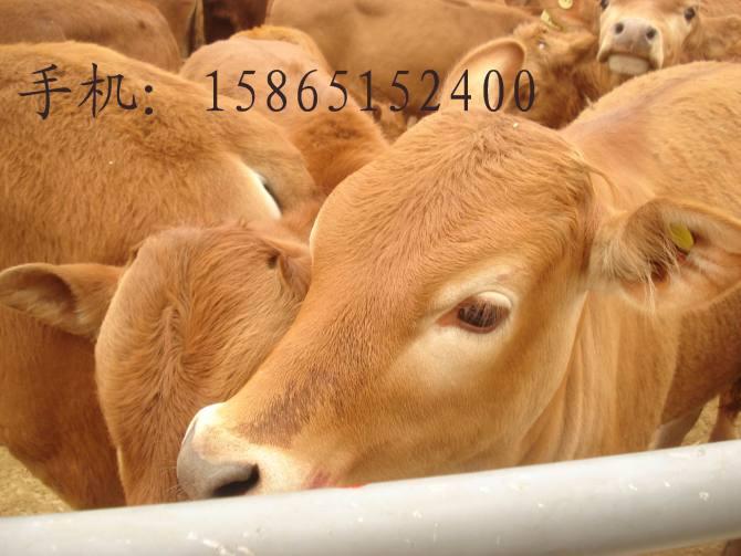 三元杂交牛适合在什么地方喂养牛场赚钱的关键原来是牛的品种