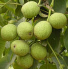 优质核桃树枣树信息